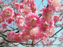 新宿御苑の梅.jpgのサムネール画像