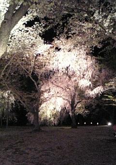 二条城桜ライトアップ.jpgのサムネール画像