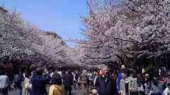 20110407 桜のサムネール画像